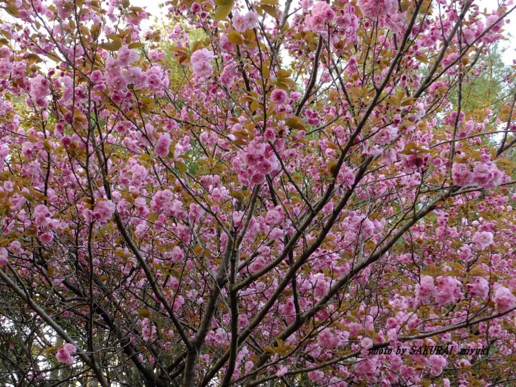 桜(関山) 2015.4.16