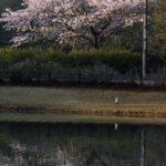 桜とアオサギ  2015.4.16  栃木県小山市
