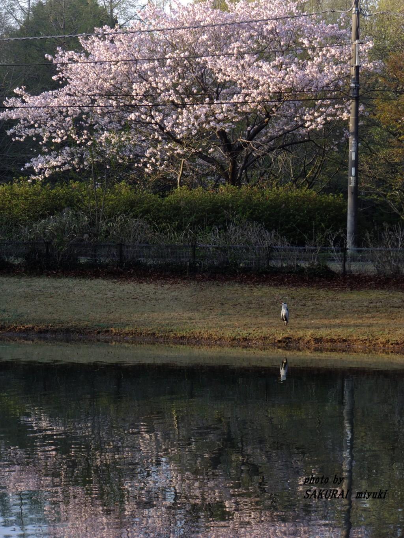 桜とアオサギ 2015.4.16
