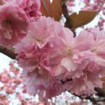 桜  2015.4.19  栃木県小山市