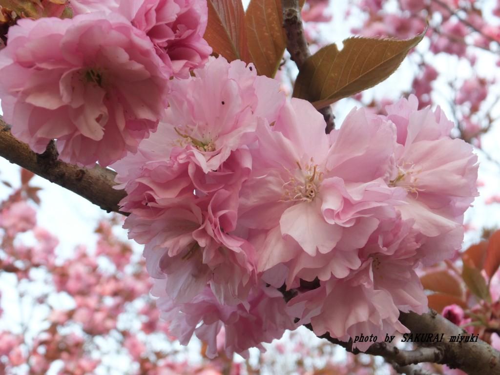 桜  2015.4.19