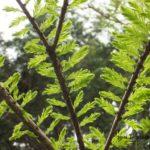 ラクウショウの新緑  2015.4.20  栃木県小山市