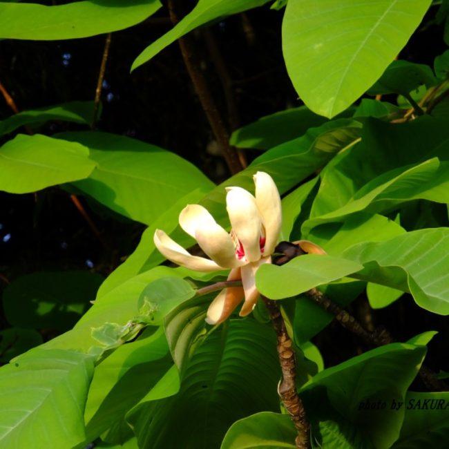 ホオノキの花  2015.4.30
