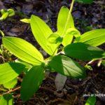 アマドコロの葉っぱ  2015.5.2  栃木県小山市