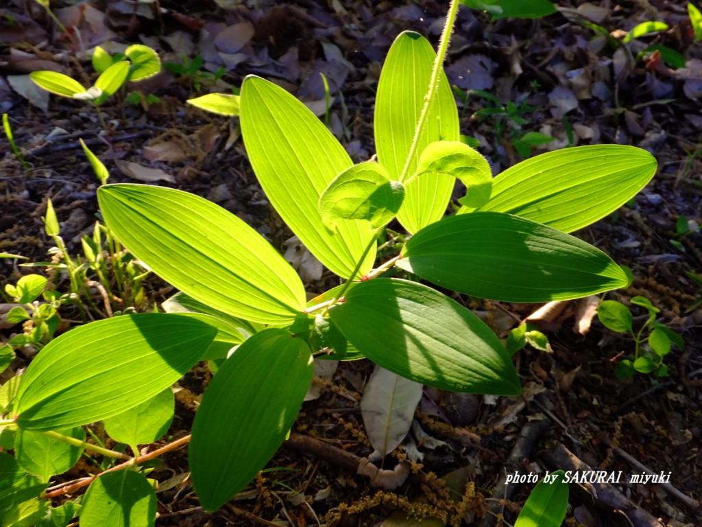 アマドコロの葉っぱ  2015.5.2