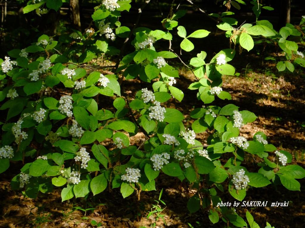 名前のわからない白い花 2015.5.6