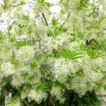 ナンジャモンジャの花  2015.5.9 栃木県小山市