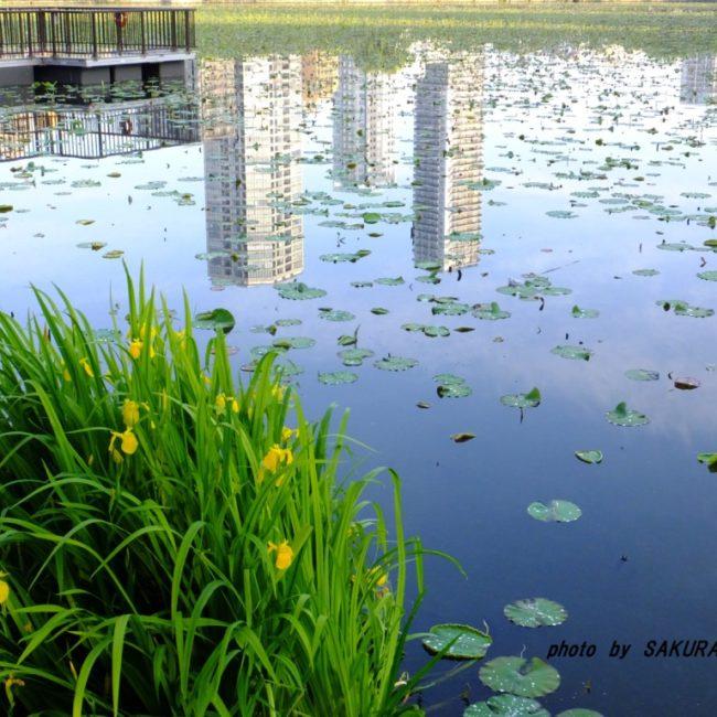 キショウブ  2015.5.10 上野公園