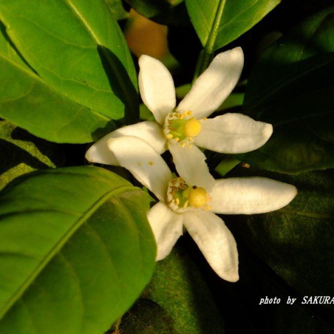 ミカンの花  2015.5.11