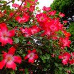 バラ  2015.5.12  栃木県小山市