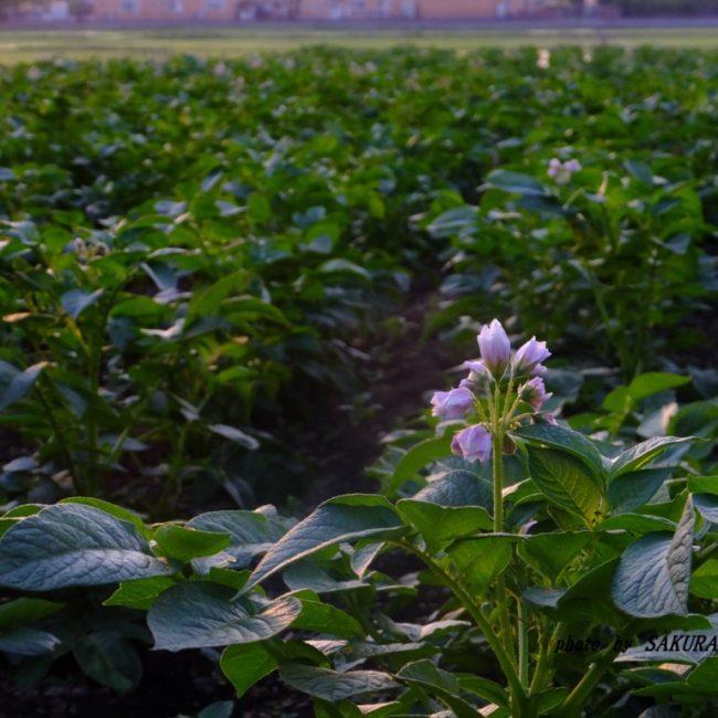 バレイショの花  2015.5.15