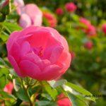 ピンクのバラ  2015.5.16 栃木県小山市