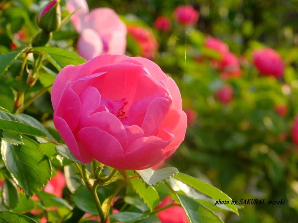 ピンクのバラ 2015.5.15