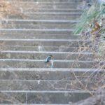 野鳥撮影ノート1 カワセミ  Alcedo atthis  COMMON KINGFISHER  栃木県小山市