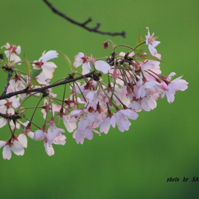 思川桜  2015.4.17