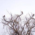 三羽ツグミ  2015.3.31  栃木県小山市
