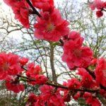 ハナモモ  2015.3.31  栃木県小山市