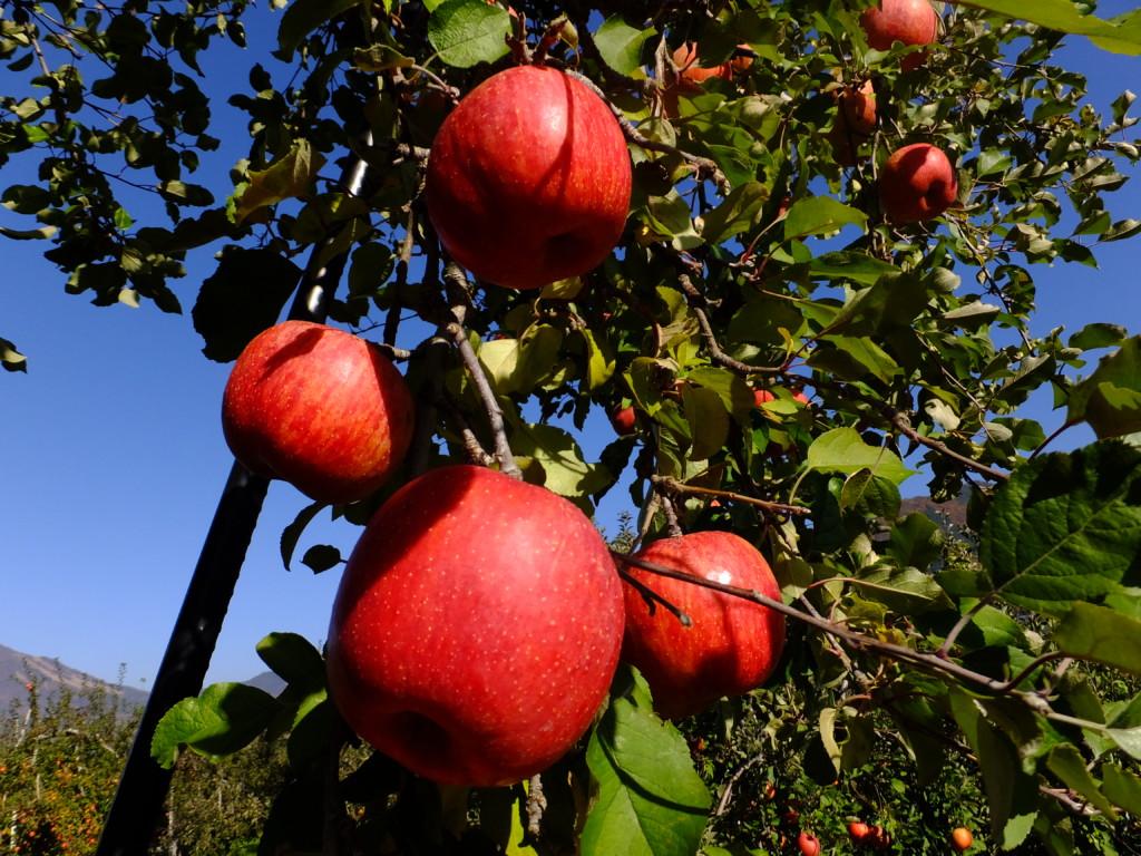 ふじりんご収穫はじまり 2016.11.13 山ノ内町