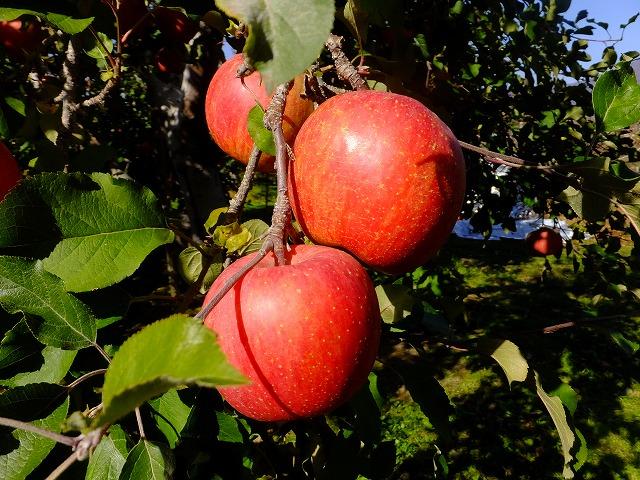 りんご マイナス補正 -1
