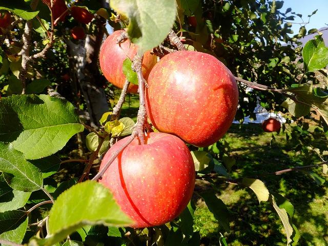 りんご 露出補正ゼロ (オートのまま)