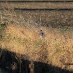 隠れているつもりの?アオサギ 2015.3.11 栃木県小山市