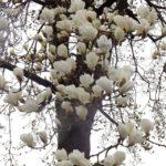 もうすぐ満開のハクモクレンアップ 2015.3.19 栃木県小山市