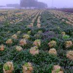 雑草だらけの白菜畑 2015.3.20 栃木県小山市