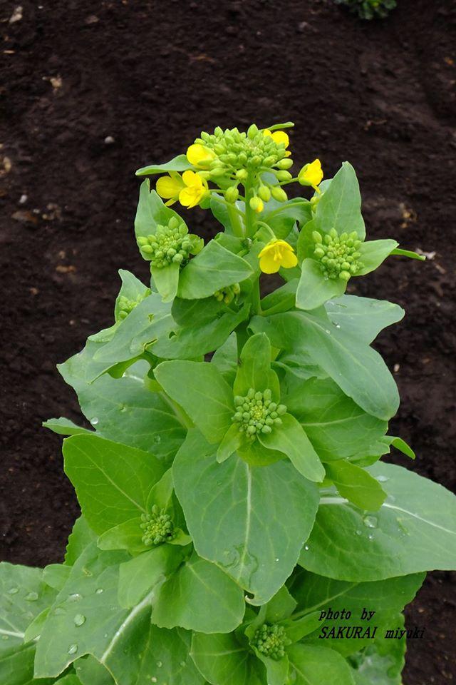 白菜の花 2015.3.20