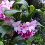 匂うにおうジンチョウゲ 2015.3.19 栃木県小山市