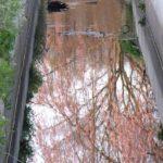枝垂れ桜の水鏡の上を泳ぐカルガモ  2015.3.29 栃木県小山市