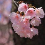 カワヅザクラ  2015.3.24 みかも山