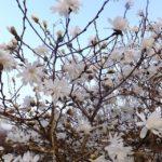 コブシ咲くあの丘 2015.3.22 栃木県小山市