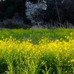菜の花 2015.3.25  栃木県小山市