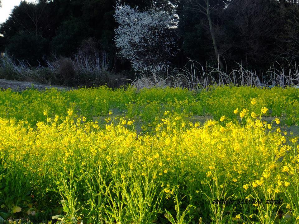 菜の花 2015.3.25