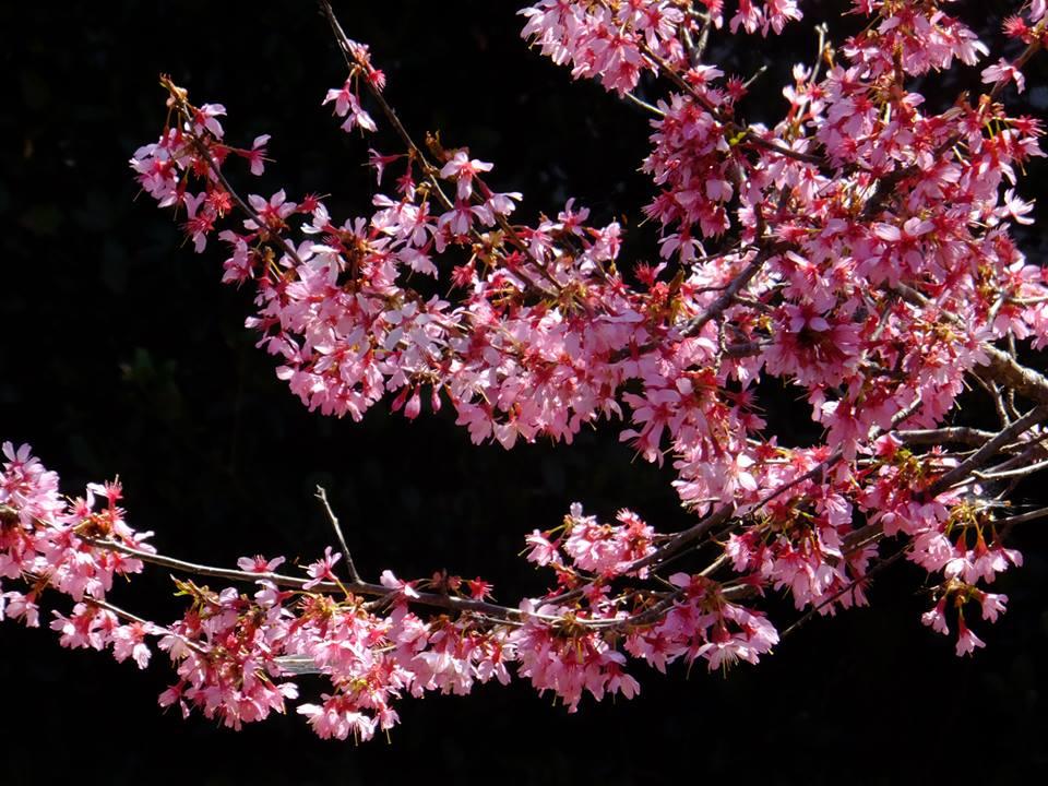 オカメザクラ 2015.3.24 みかも山公園