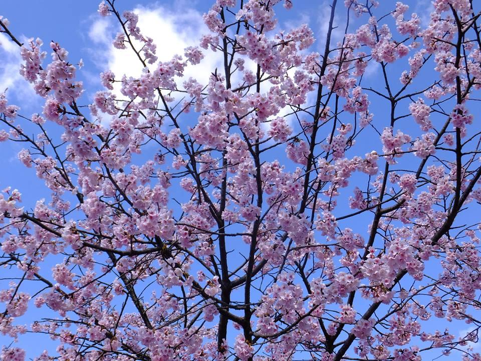 桜 2015.3.24 みかも山公園