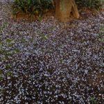ウメの花散る  2015.3.23 栃木県小山市