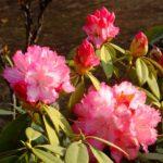 大統領のシャクナゲ 2015.3.30 栃木県小山市