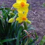 スイセンの咲く季節となりました  2015.3.16 栃木県小山市