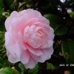 ピンクのツバキ  2015.3.19 栃木県小山市