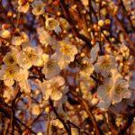 ちょっと黄色っぽいウメの花 2015.3.11 栃木県小山市