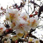 満開過ぎたウメ 2015.2.23 栃木県小山市