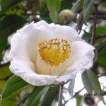 白いツバキ 2015.2.25 栃木県小山市