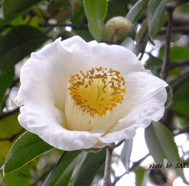 白いツバキ 2015.2.25