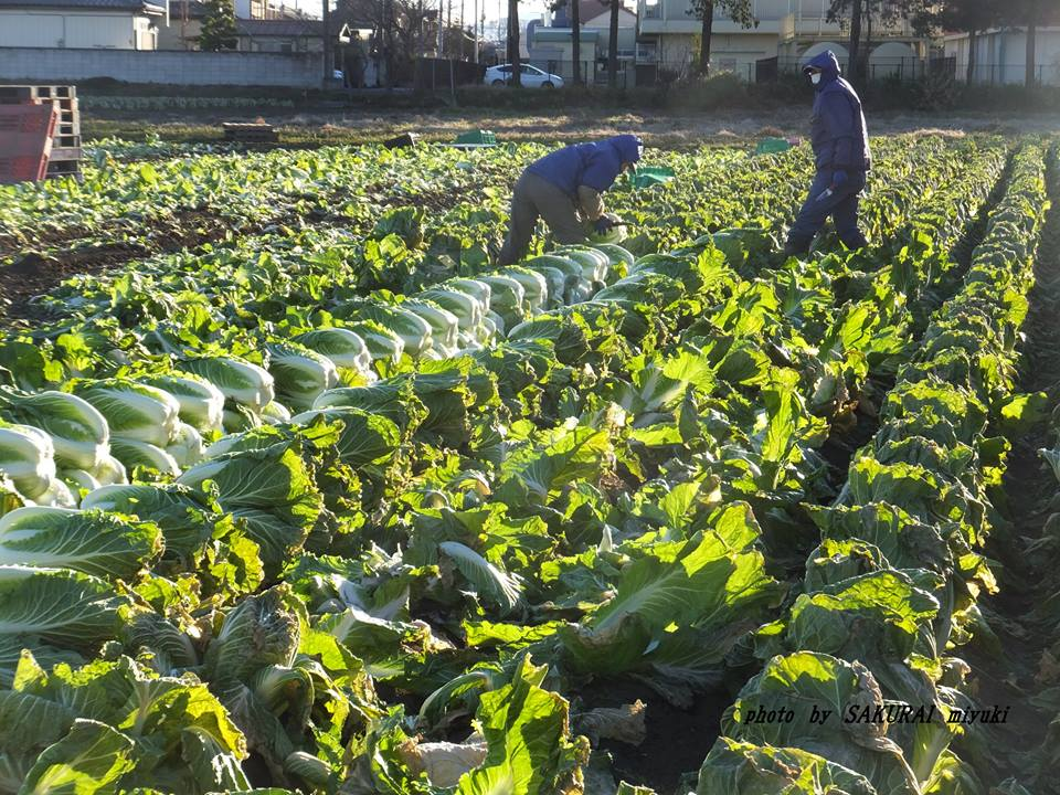 霜降り白菜収穫 2015.1.17