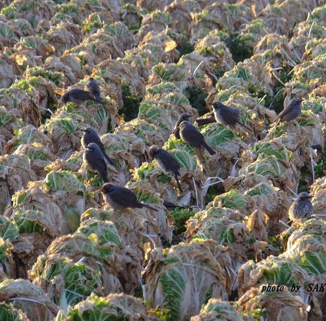 白菜畑のヒヨドリ 2015.2.28