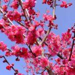 紅梅 2015.3.1 栃木県小山市