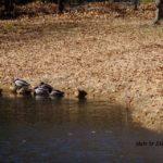 アオサギと残ったマガモ 2015.3.2 栃木県小山市