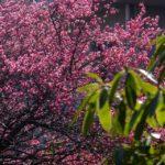 紅梅 2015.3.2 栃木県小山市