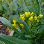 おいしそうな菜の花 2015.3.7 栃木県小山市